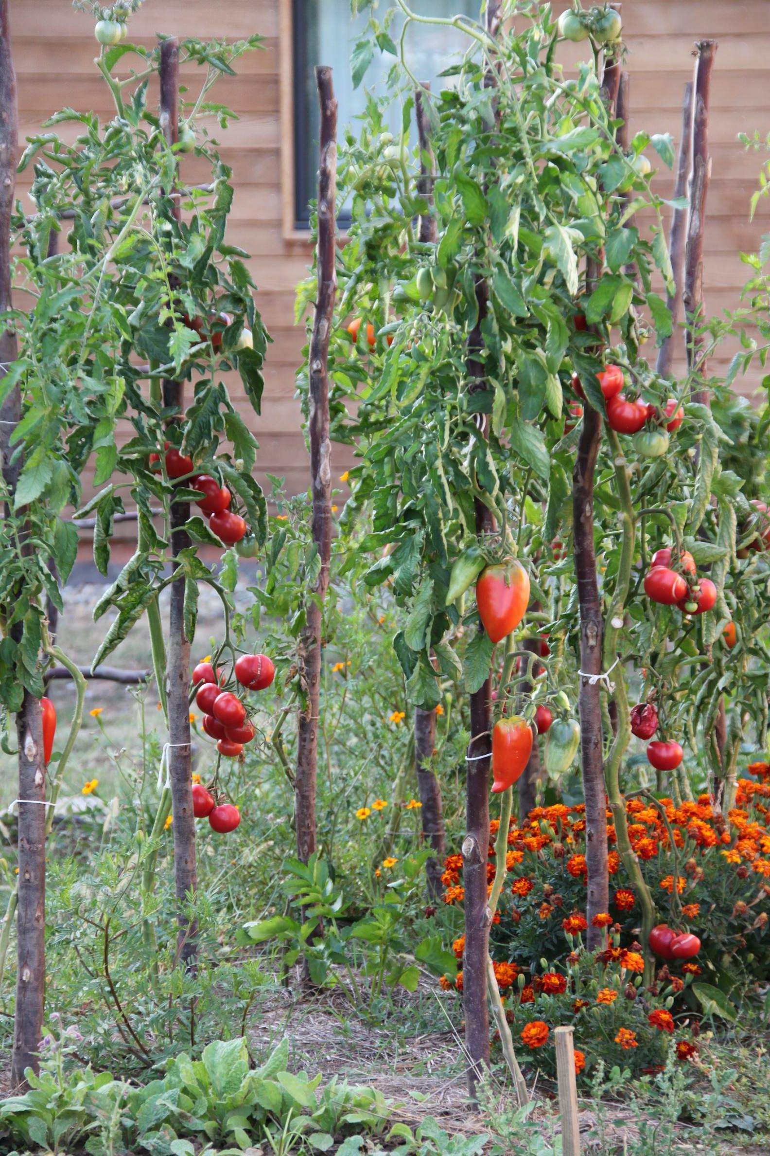 Culture de tomates bio