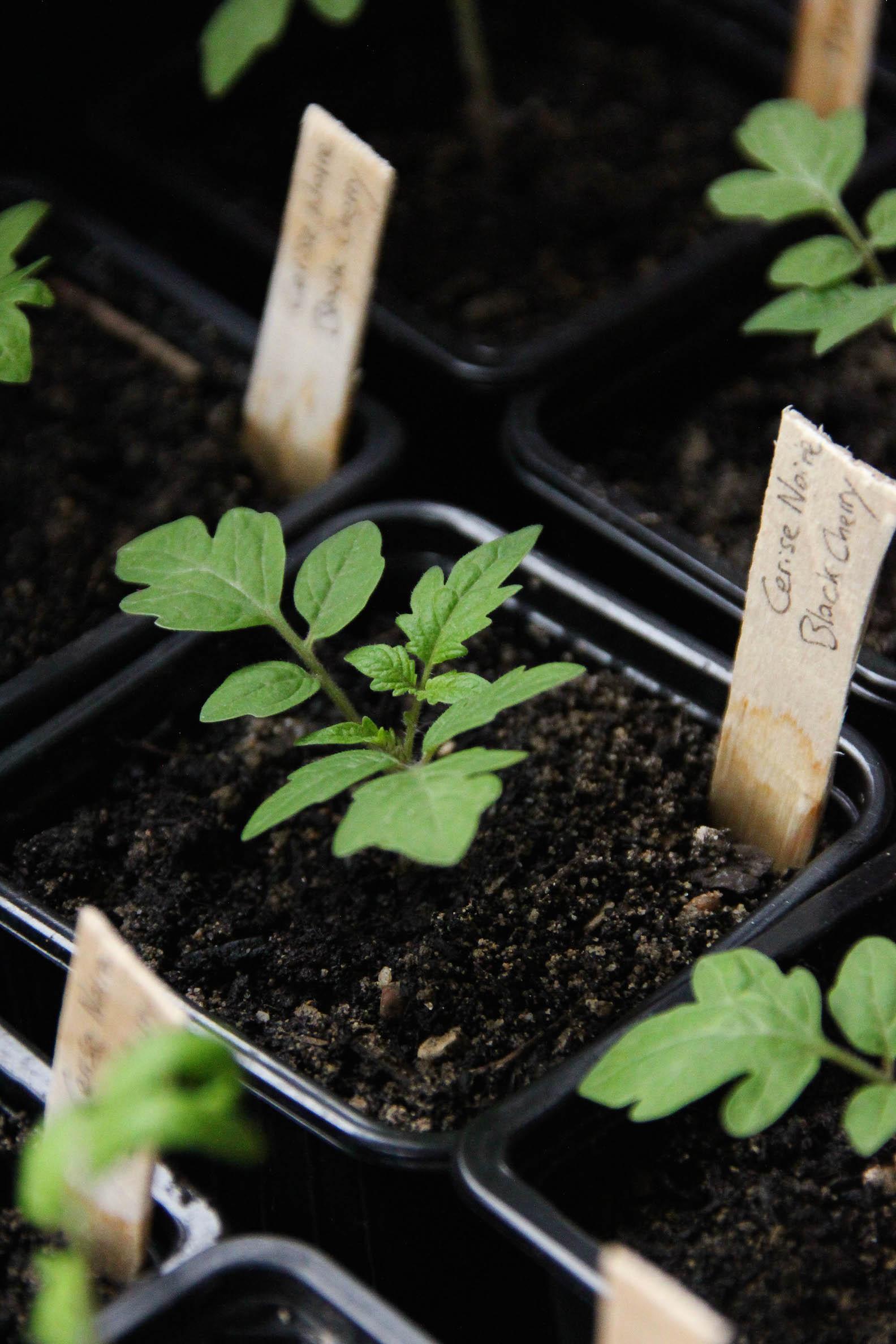 Repiquage des semis de tomates bio