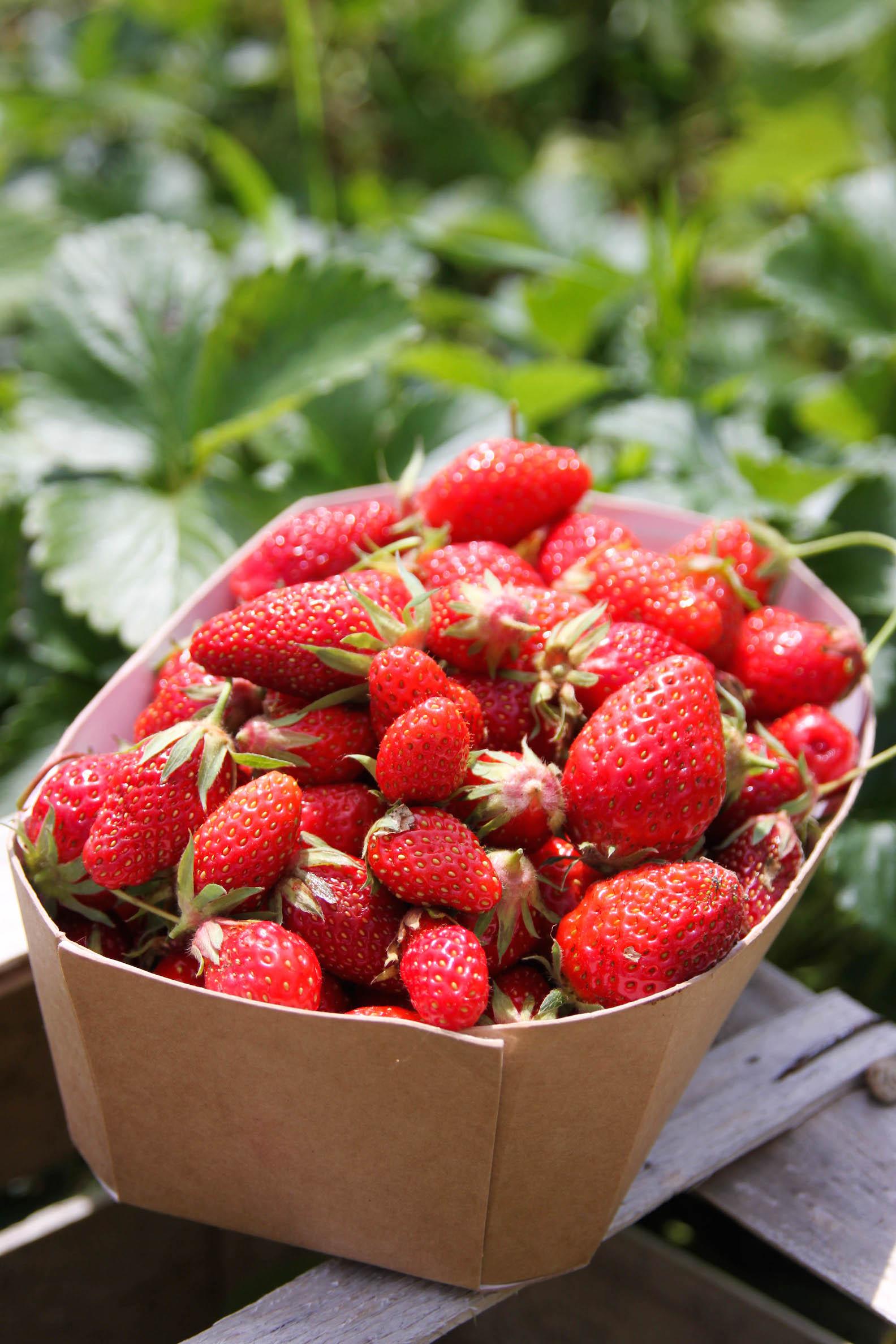 Récolte de fraises bio