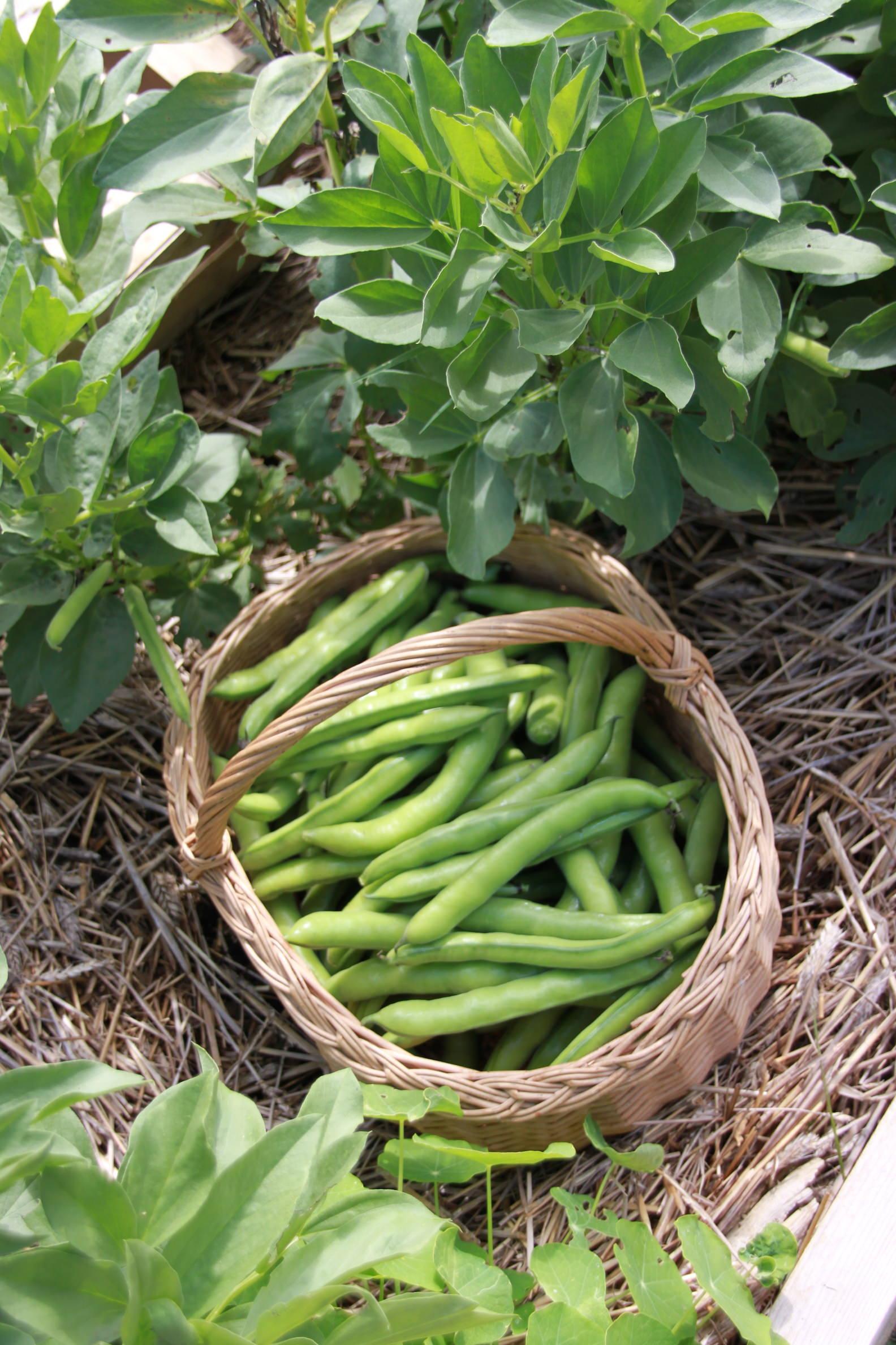 Récolte des fèves du jardin