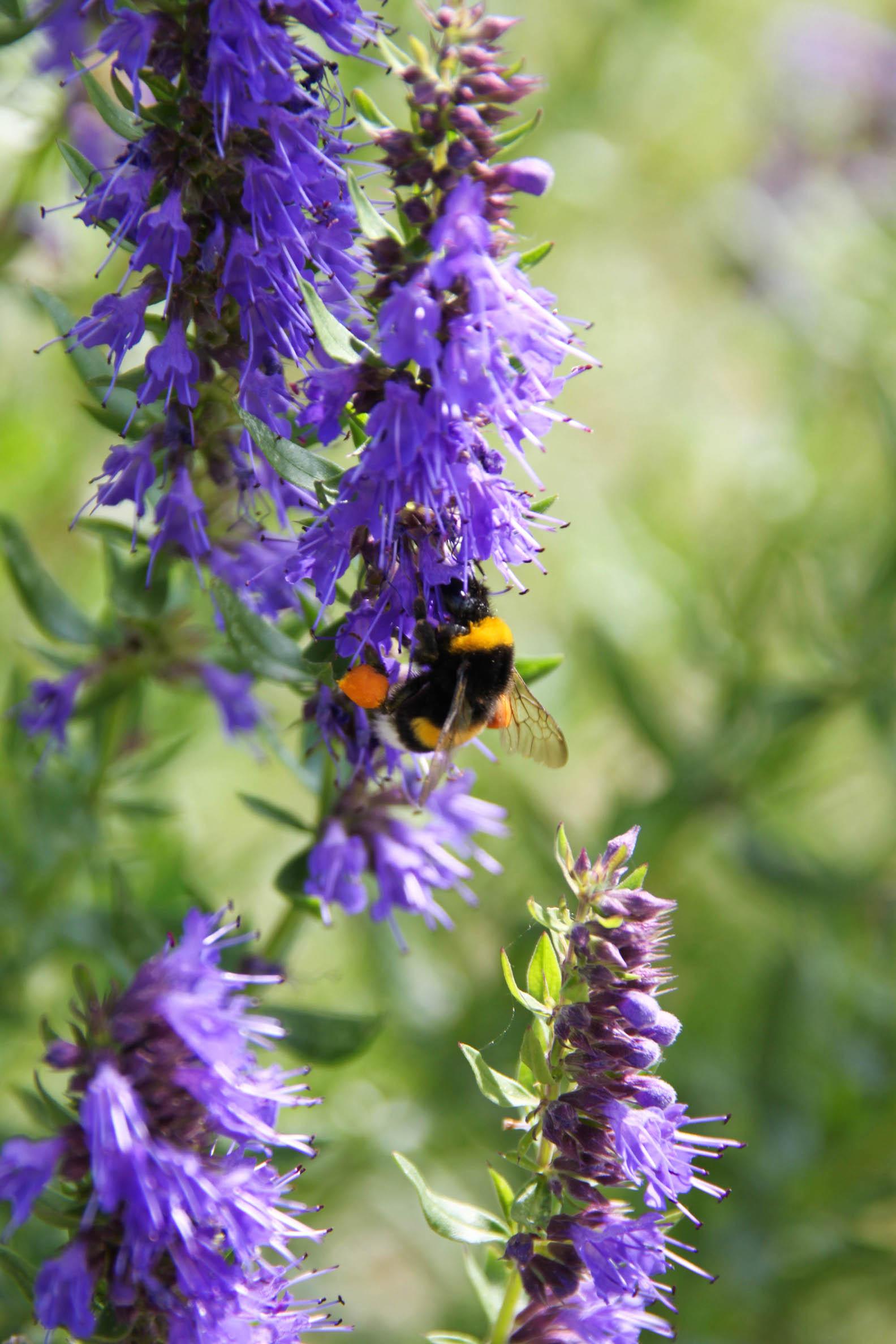 Bourdon chargé en pollen