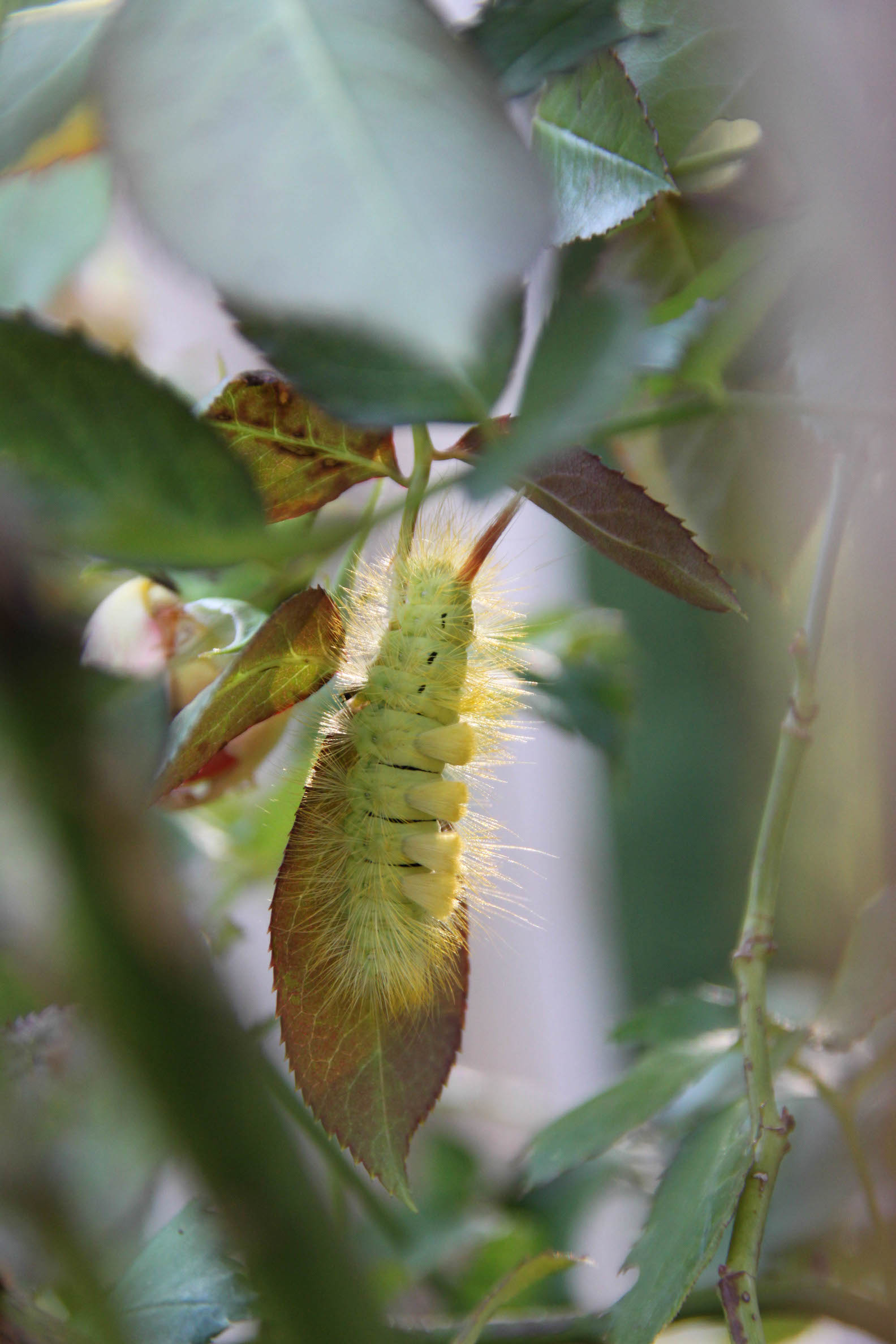 Chenille du papillon Orgie pudibonde
