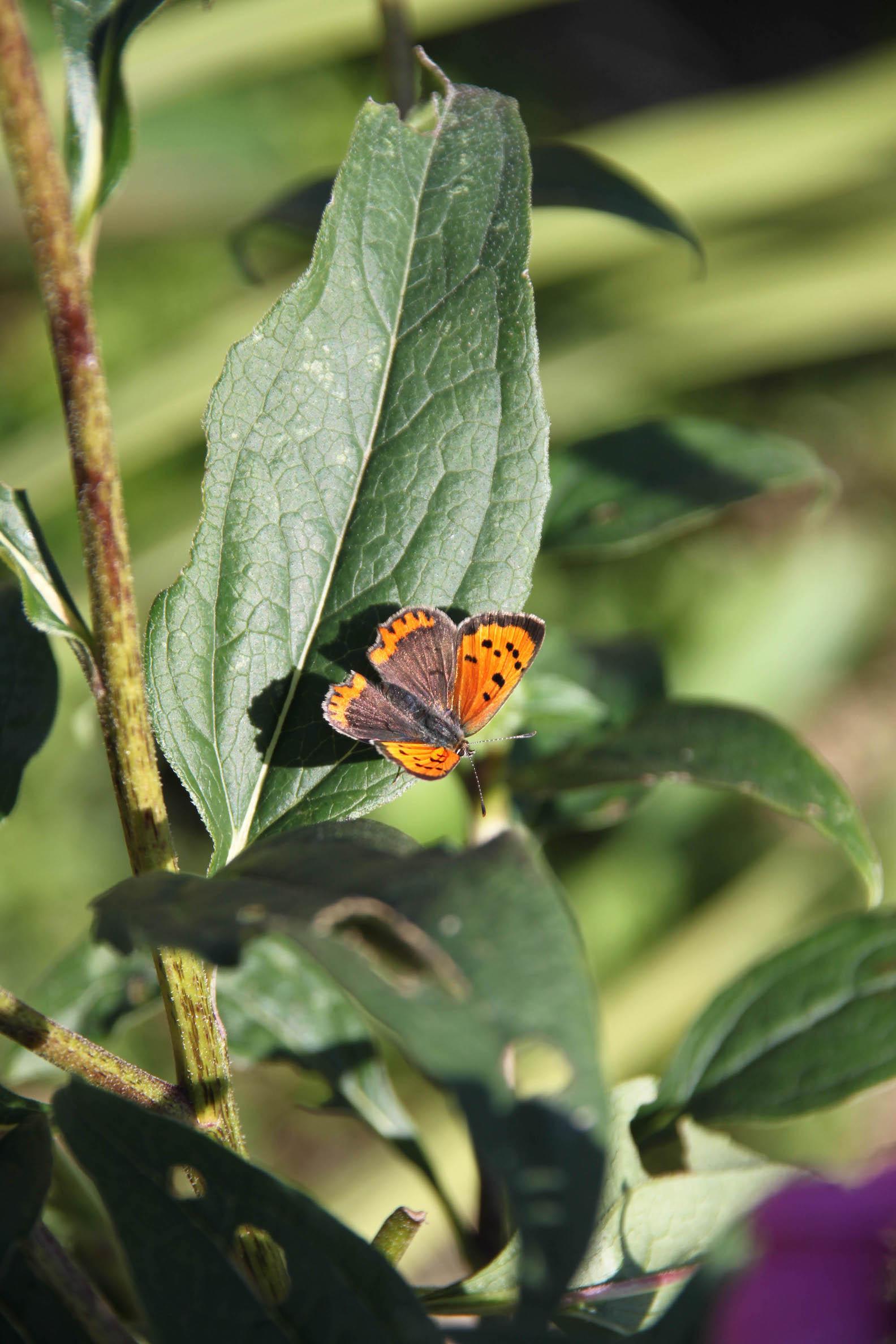 Joli papillon sur une echinacea