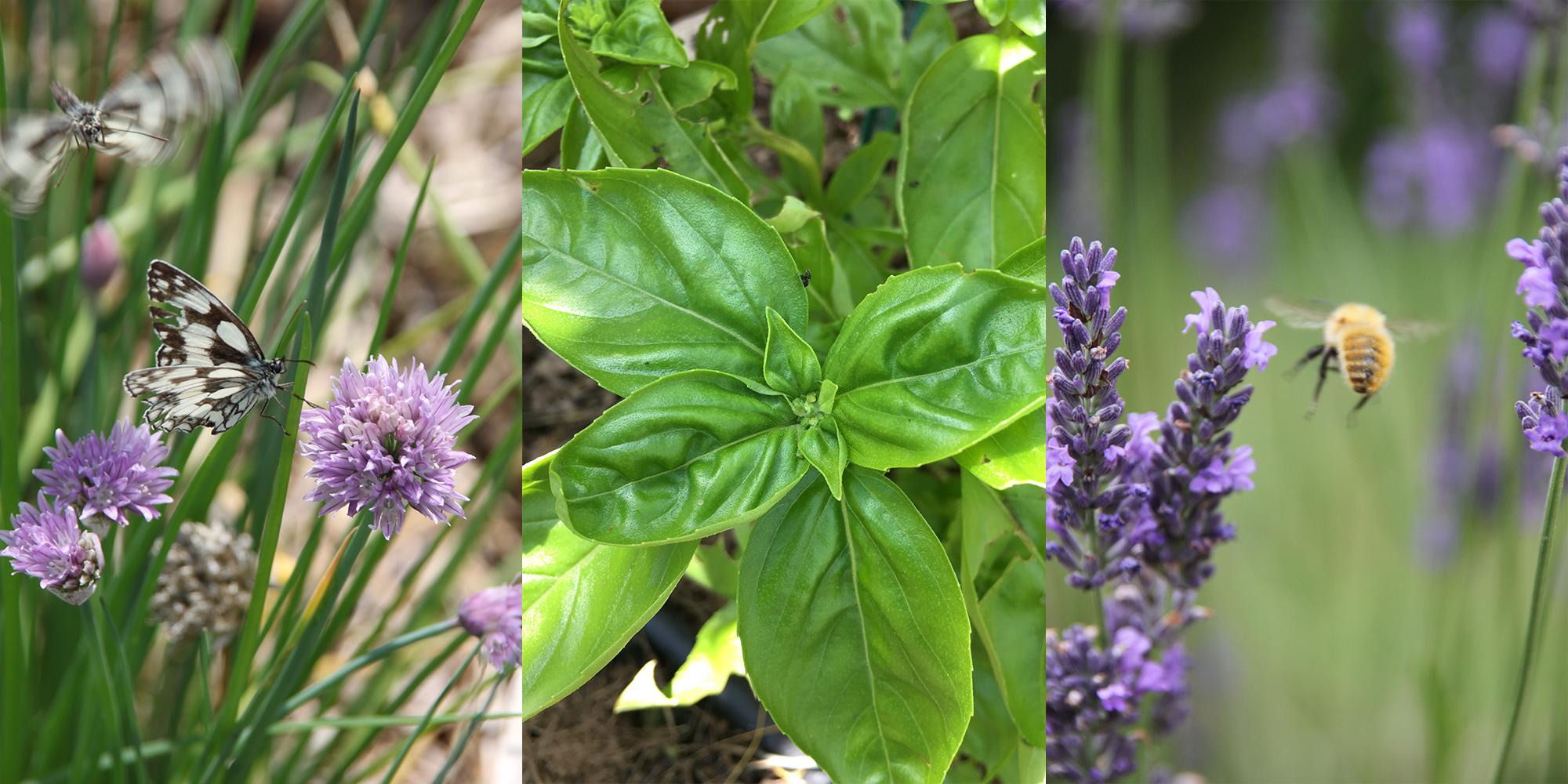 Herbes aromatiques et médicinales