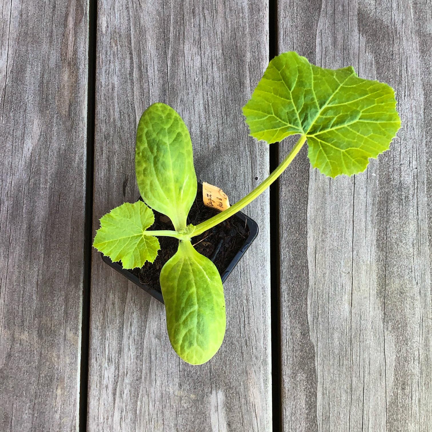 plant-courgette-dame-bio_