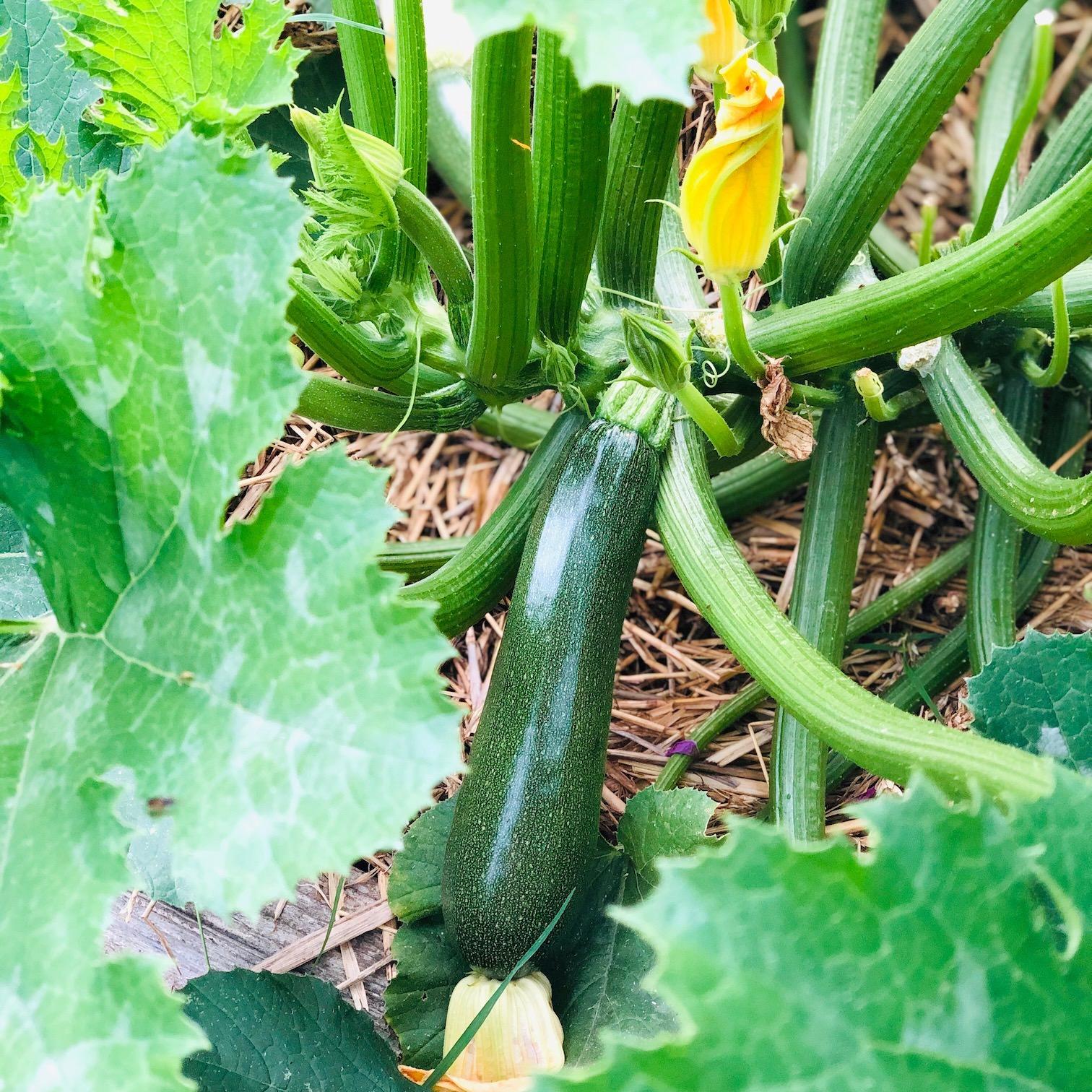 plant-courgette-permaculture-paillage-dame-bio_