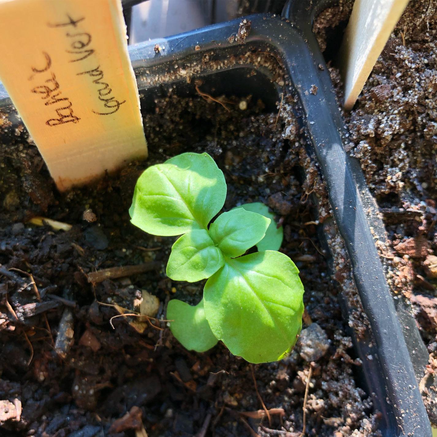 semis-varietes-basilic-dame-bio_